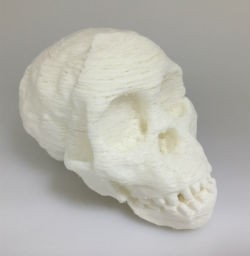 Taung child skull used for an Anthropology class.